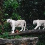 White tigers on the move, Singapore Zoo, Feb 2008 (Simon Roughneen)
