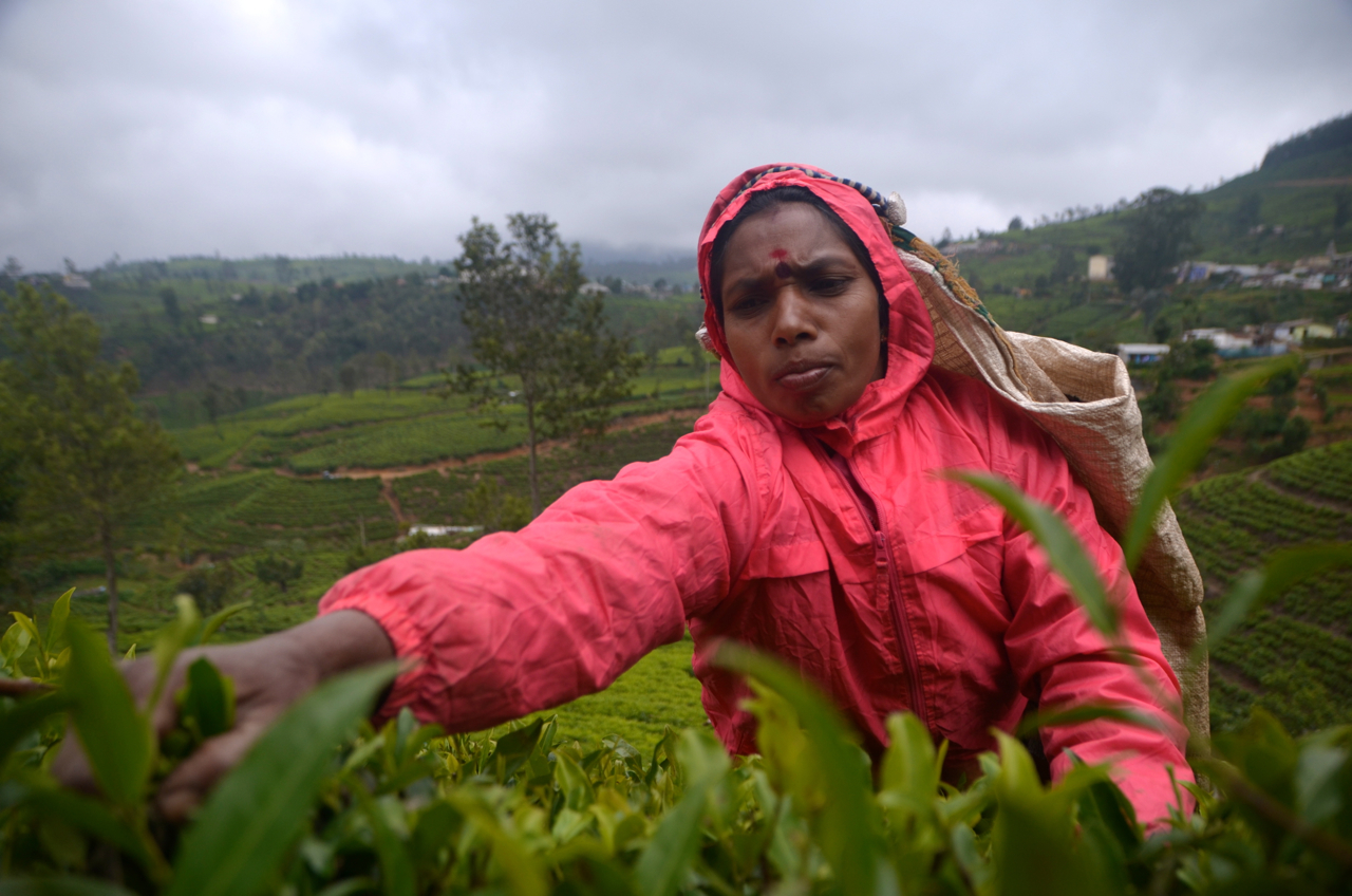 Tea-plucking outside Nuwara Eliya (Photo: Simon Roughneen)