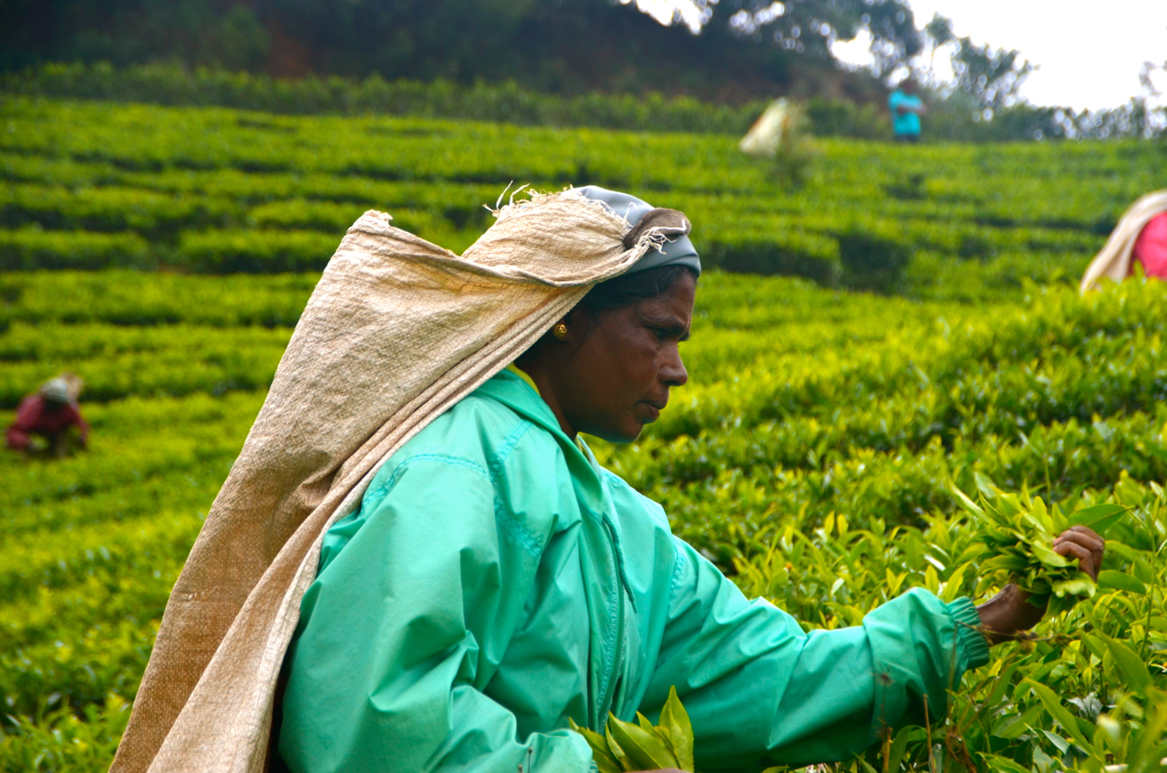 Mahadeva Karuppaya at work at a Finlays tea plantation in Sri Lanka (Photo: Simon Roughneen)