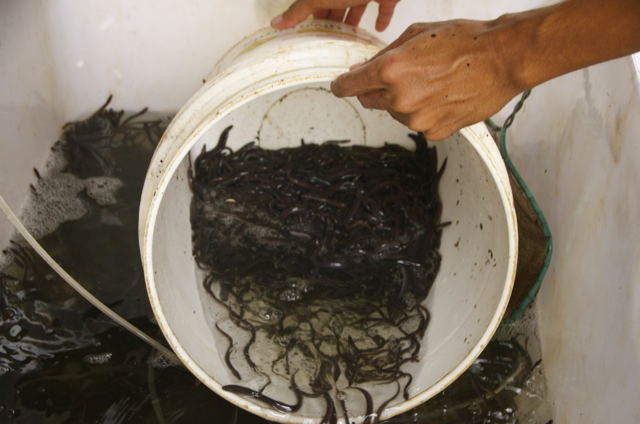As young eel grow to various stages of maturity, they are transferred from smaller to bigger tanks as part of the eel farming process (Photo: Simon Roughneen)